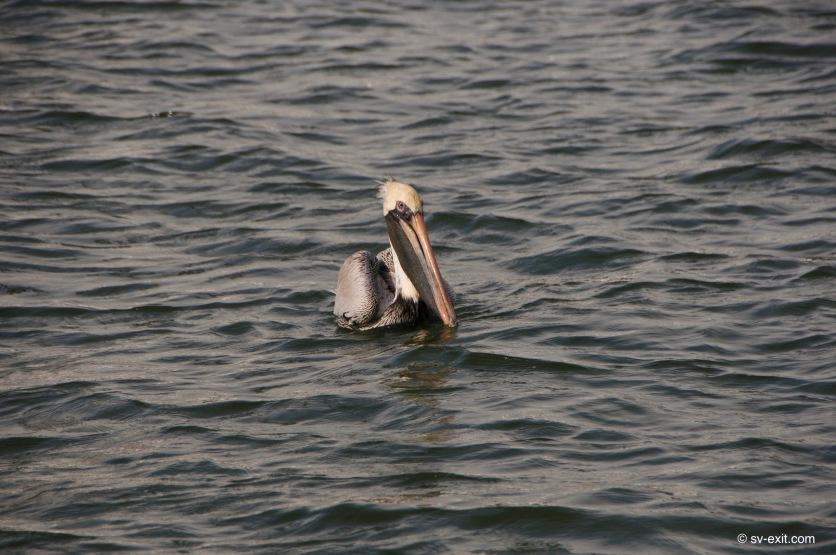 Pelicans rock!
