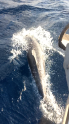 Dolphins riding the bow wake 11/17/18