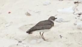 decoybird1