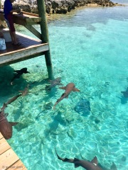 Nurse sharks at the fish cleaning area