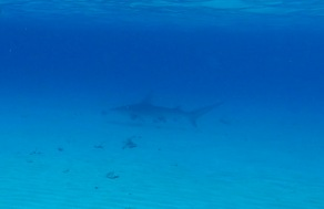 Great Hammerhead at Stingray City