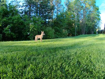 Coyote pups - Spokane, WA
